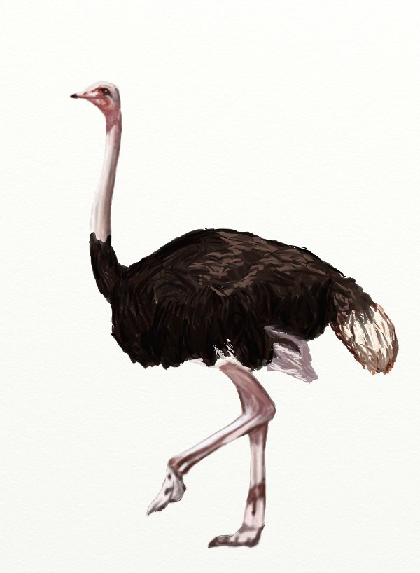 How to draw an Ostrich step by step