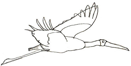 How to Draw a Stork, step 4