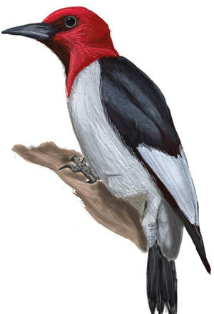 How to Draw a Woodpecker Draw