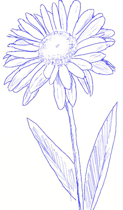 Daisy Flower Sketch How To Draw A Step By