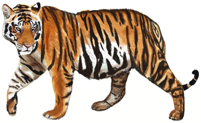 How to Draw a Tiger, step 7
