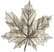 How to Draw Maple Leaves