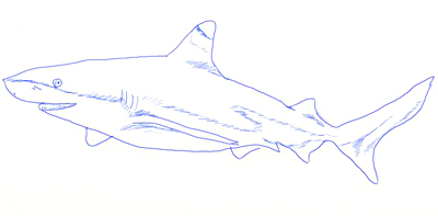 How to Draw a Realistic Shark, step 5
