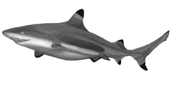 How to Draw a Realistic Shark, step by step