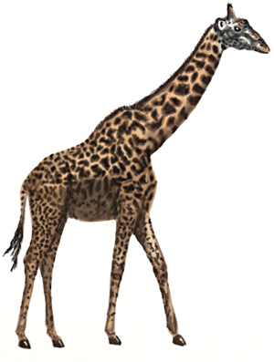How to Draw a Giraffe, step 7