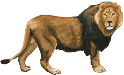 How To Draw A Lion Draw Step By Step